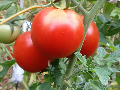 30 graines semences tomate grappe seeds bio