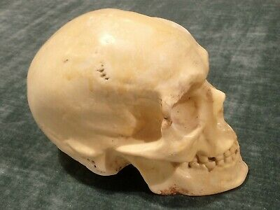 * Rare Antique Early 20Th Century Ceramic Human Skull Skeleton Phrenology Head *