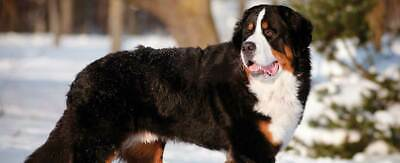 Dog Breed Mailbox - Bernese Mtn Dog