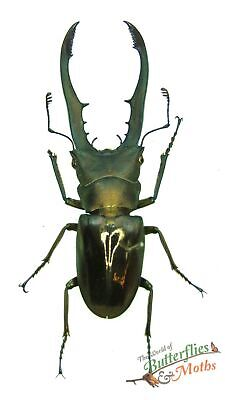 Chrysochroa fulminans SET x1 Metallic green Jewel beetle Indonesia artwork 0JW.