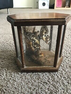 Vintage Butterfly Taxidermy Mounted Display Wood Display Case