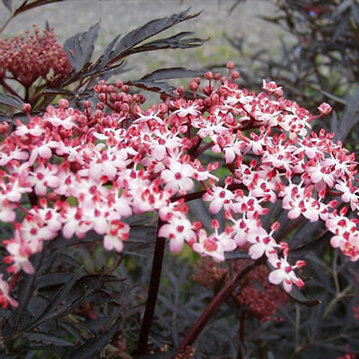 1 X Sambucus 'Black Lace' Common Elder Deciduous Shrub Hardy Plant In Pot