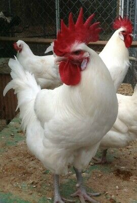 10 American (French) Bresse Chicken Hatching Eggs ~  West Coast Source ~