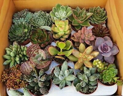 Tray of 20 Assorted Succulents plants - 5.5cm Pot