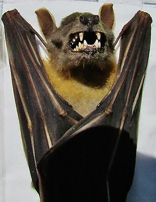 Real Lesser Short-nosed Fruit Bat Cynopterus brachyotis Hanging FAST FROM USA