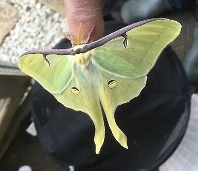 Live insects- 15 1st 2nd Instar Larvae Actias luna American Moon Moth on Walnut