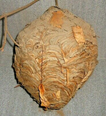 Large Real Hornet Bee Nest Hive Paper Wasp Taxidermy School Science Decor