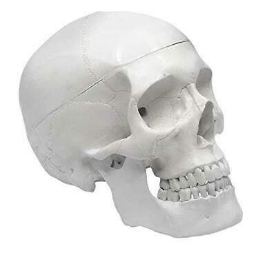 "Human Adult Skull Anatomical Model Medical Quality Life Sized 9"" Height - 3 P..."