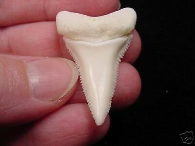 """(s409-11) 1-9/16"""" GREAT WHITE SHARK TOOTH Teeth JEWELRY sharks necklace Modern"""