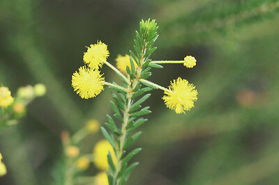 Crowded Leaf Wattle or Golden Top (A conferta) 30 Seeds Frost to minus 5°C