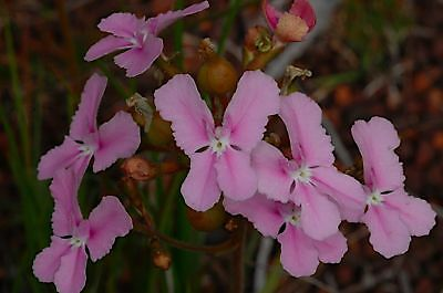 Queen Trigger Plant Seed - Frost Hardy Tuft Perennial