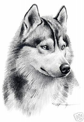 SIBERIAN HUSKY Dog Drawing ART 11 X 14 Print Signed DJR