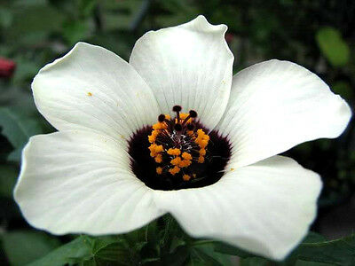 10 SIMPLY LOVE HIBISCUS Trionum Flower of the Hour Seed
