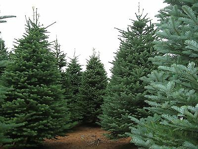 Noble Fir, Abies procera, (Abies nobilis), Tree Seeds (Fragrant Evergreen)
