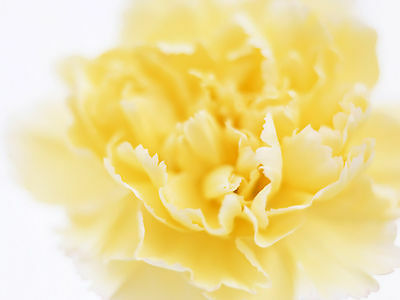 20 Stems Of Fresh Yellow Standard Carnations - Delivered By 1St Class Post