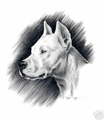 DOGO ARGENTINO Art Print Pencil Drawing Dog 8 x 10 Signed by Artist DJR w/COA