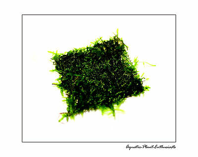 Christmas Moss/ Xmas moss On Wire Mesh / Live Aquarium Plant / Easy / Uk Seller