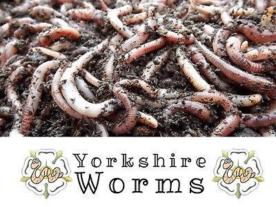 100g Wormery Compost Worms with 'ORGANIC' Bedding Culture from 'YORKSHIRE-WORMS'