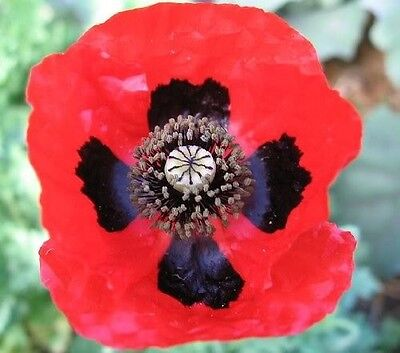 150 RED LADY BIRD FLANDERS POPPY Papaver Commutatum Scarlet Black Flower Seeds