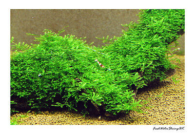 Live Aquarium Plants /  Moss / Easy / Uk Seller / Best Quality