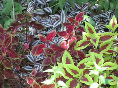100 RAINBOW MIX COLEUS Flower Seeds + Gift & Comb S/H
