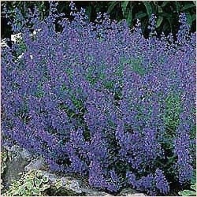 50 BLUE CATMINT Nepeta Mussinii Flower Herb Seeds +Gift