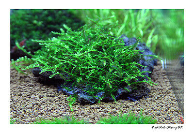 Creeping Moss On Wire Mesh / Live Aquarium Plant / Uk Seller