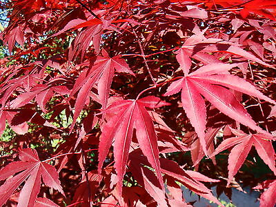 Red Japanese Maple, Acer palmatum atropurpureum, Tree Seeds (Fall Color, Bonsai)