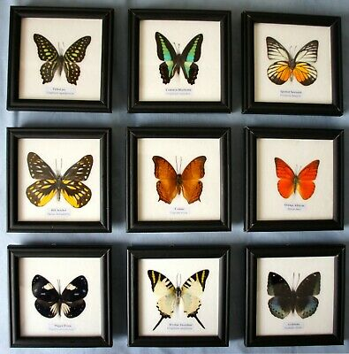 Framed Butterfly Picture Frame Display Case Genuine Specimens Insects Taxidermy