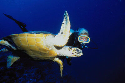 634071 Diver And Hawksbill Turtle Red Sea Egypt A4 Photo Print