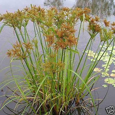 Umbrella Sedge Seed Native  Perennial Frost Tolerant Aquatic Cyperus exaltata