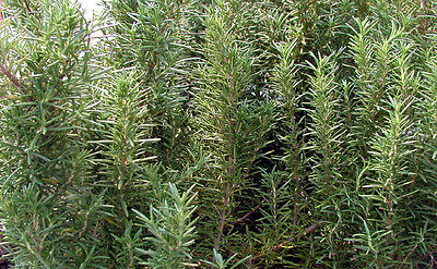 Rosemary Essential Oil - Rosmarinus Officinalis - from Spain - 1oz & 4oz