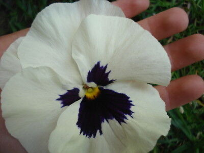 Giant Russian Pansy Seeds Xxl Size Flower Upto 10 Cm - Mix Colours