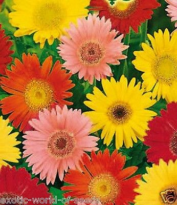mixed colours 30 x DELUXE..GERBERA Jamesoni Hybrid seeds BEAUTIFUL ST-27