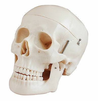 Human Skull - Life-Size 3 Parts - Deluxe Anatomy Model