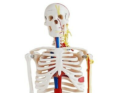 Human Skeleton with Nerves & Blood Vessels - Anatomy Model