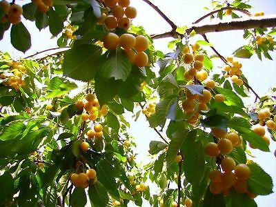 YELLOW  CHERRY TREE******12-14 INCH*****FRUIT TREES****SPRING BLOOMS
