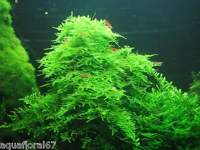 TAIWAN MOSS Taxiphyllum Alternans   1 coupe 6 cm IN VITRO tres rare crevettes