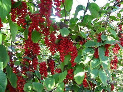 Chinese Magnolia, Schisandra chinensis, Vine Seeds (Fast, Edible, Hardy, Showy)