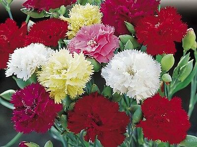 Carnation Chabaud Giants Mix Seeds Scented Perennial Good Cut Flower Colourful