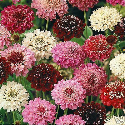 Scabiosa Tall Double Mix Seed Annual  Good Cut Flower