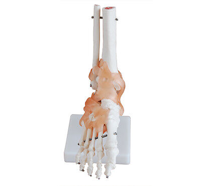 Life-Size Foot Joint with Ligaments - Anatomy Model