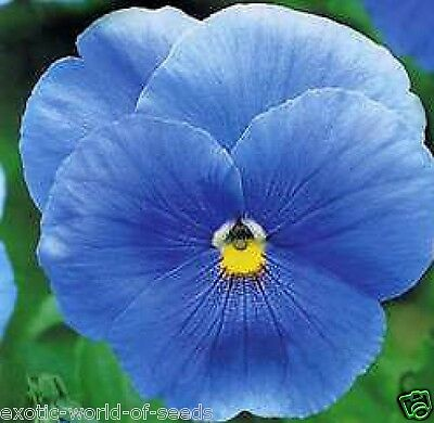 Russian Pansy Seeds Unusual Sky Blue Colour Flowers