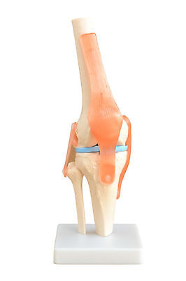 Life-Size Knee Joint - Anatomy Model