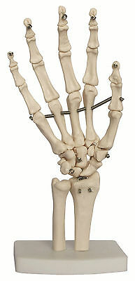 Hand & Wrist Joint Anatomy Model, New - Life Size Anatomical Model