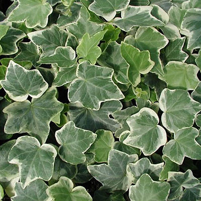 3 X Hedera White-Edged Trailing Ivy Climbing Evergreen Plant In Pot *not Plugs*