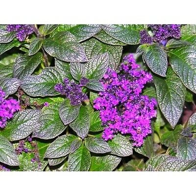 Bushy Heliotope Seed Native Annual Bluish Purple Flower Partial Shade