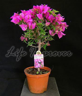 Bougainvillea Purple Flower Hoop Tree in Pot Climbing Garden Plant 60cm