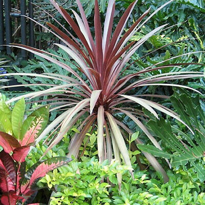 1 X Cordyline 'Red Star' Evergreen Tree Cabbage Palm Hardy Garden Plant In Pot