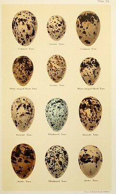 Print on A4 - H Seebohm - Coloured Figures of the Eggs of British Birds 184